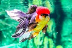 Slut upp guldfisk i akvarium Arkivfoto