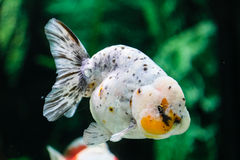 Slut upp guldfisk i akvarium Royaltyfri Bild