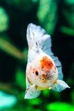Slut upp guldfisk i akvarium Royaltyfria Foton