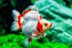 Slut upp guldfisk i akvarium Royaltyfria Bilder
