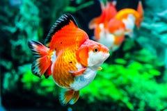 Slut upp guldfisk i akvarium Arkivfoton