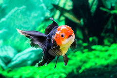Slut upp guldfisk i akvarium Royaltyfri Foto