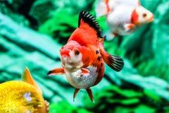 Slut upp guldfisk i akvarium Fotografering för Bildbyråer