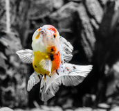 Slut upp guldfisk i akvarium Arkivbild