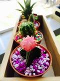 Slut upp gulliga rosa växter för kaktuskrukakontor Royaltyfri Fotografi
