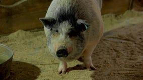Slut upp gulligt dekorativt svin på lantgården stock video