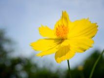 Slut upp gult kosmos i trädgården arkivbild