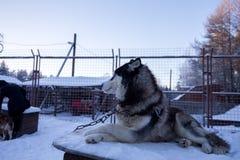 Slut upp härlig hundhuskie i en naturlig miljö arkivfoto