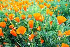 Slut upp härlig orange vallmoblommaträdgård royaltyfri bild