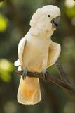 Slut upp kakadua Arkivfoton