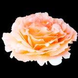 Slut upp knoppen för blomma för orange korallvitanbud som den rosa isoleras med Arkivfoto