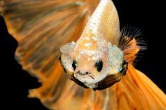 Slut upp konströrelse av den Betta fisken, Siamese stridighetfisk Arkivfoto