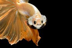 Slut upp konströrelse av den Betta fisken, Siamese stridighetfisk Arkivfoton
