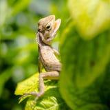 Slut upp lacertilia i trädgård Arkivbild