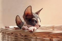 Slut upp ledsna Sphynx Kitten Inside korgen Arkivfoto