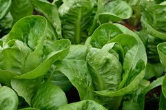 Slut upp lilla Gem Romaine Lettuce Royaltyfri Bild