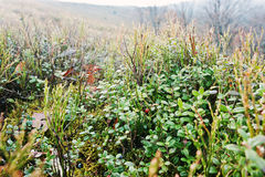 Slut upp lingonbär på bergkullen Royaltyfri Foto