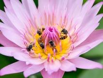 Slut upp lotusblommapollen Royaltyfri Foto