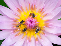 Slut upp lotusblommapollen Arkivfoto