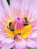 Slut upp lotusblommapollen Arkivfoton