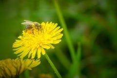 Slut upp makroen av biet som samlar pollen på blommande gul officinale för maskrosblommaTaraxacum Royaltyfri Fotografi