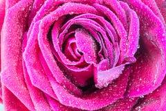 Slut upp makroskott av en rosa färgros Royaltyfri Fotografi
