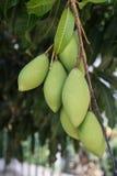 Slut upp mango på mangoträd Arkivfoton