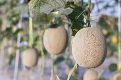 Slut upp melon som växer klar för skörd i åkerbruk lantgård för fältväxt Royaltyfri Bild