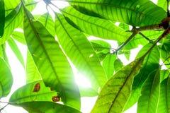 Slut upp natursikt av det gröna bladet genom att använda som en bakgrund Arkivfoton