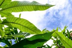 Slut upp natursikt av det gröna bladet genom att använda som en bakgrund eller en tapet Arkivfoto
