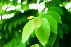 Slut upp natursikt av det gröna bladet genom att använda som en bakgrund eller en vägg Arkivfoto