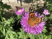 Slut upp Nymphalisurticaefjäril på den violetta blomman royaltyfri fotografi