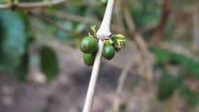 Slut upp omogna kaffebönor i kaffefilialer, organiska åkerbruka växter i Asien, gröna omogna kaffebönor på träd lager videofilmer