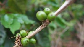 Slut upp omogna kaffebönor i kaffefilialer, organiska åkerbruka växter i Asien, gröna omogna kaffebönor på träd arkivfilmer