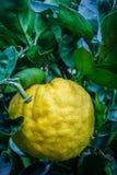 Slut upp orange frukt för stor tangerin i orange lantgård på islan Jeju Royaltyfri Fotografi