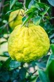 Slut upp orange frukt för stor tangerin i orange lantgård på islan Jeju Royaltyfri Bild