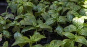Slut upp på att växa gröna organiska sidor av basilika Sunda diet-matrich i microelements cellulosa och vitaminer arkivfoto