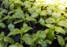 Slut upp på att växa gröna organiska sidor av basilika Sunda diet-matrich i microelements cellulosa och vitaminer royaltyfria bilder