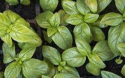 Slut upp på att växa gröna organiska sidor av basilika Sunda diet-matrich i microelements cellulosa och vitaminer royaltyfria foton