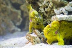 Slut upp på den randiga frogfishen (antennariusstriatusen) Arkivbild