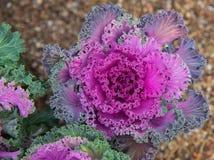 Slut upp på grönkål Rosa grönsaksidor, sunt äta, vegeta royaltyfri foto