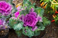 Slut upp på grönkål Rosa grönsaksidor, sunt äta, vegeta royaltyfria bilder