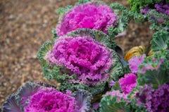 Slut upp på grönkål Rosa grönsaksidor, sunt äta, vegetarisk mat royaltyfri foto