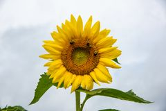 Slut upp på solrosen polinated av bin royaltyfri bild