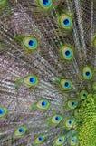Slut upp påfågelfjäder Arkivbild