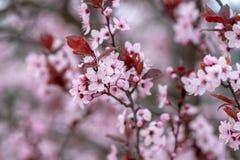Slut upp plommonfilialer i blom med defocused bakgrund arkivbild