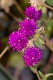 Slut upp purpurfärgade blommor i blom royaltyfri bild
