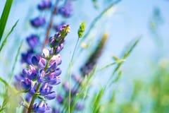 Slut upp purpurfärgade lupine blommor slapp fokus mot bakgrund field bl?a oklarheter f?r gr?n vitt wispy natursky f?r gr?s royaltyfri foto