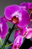 Slut upp purpurfärgade orkidéblommor Royaltyfri Foto