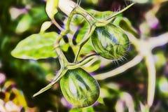 Slut upp rå gröna små tomater royaltyfri foto